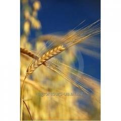 Пшеница озимая Илиас (Лимагрейн)
