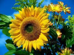 Насіння соняшнику Степок (посівний матеріал)...