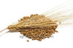 Семена ярого ячменя Сорт Гарант Премиум
