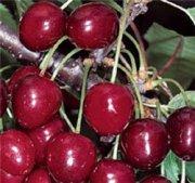 Саженцы черешни сорт Кордия