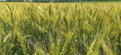 Семена озимой пшеницы Благодарка Одесская 1...