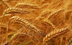Сорт озимой пшеницы Кормилица одесская