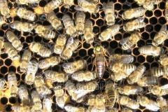 Карника матки пчелиные