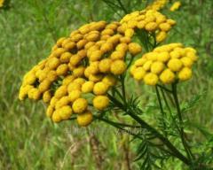 Pizhma flowers