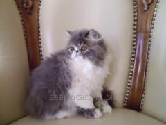 Ashley Charm. Persian kitty extreme type. Blue