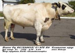 Сперма быка Компас Ред DE 113996021 (голштин...