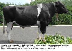 Сперма быка Замш Ет UА5300569859  (голштин...