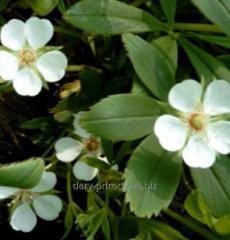 Pyatipal (silverweed white)