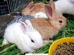 Young growth of rabbits wholesale, retail, farm