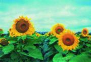 Sunflower seeds Diamond, Mirage, Typhoon, the