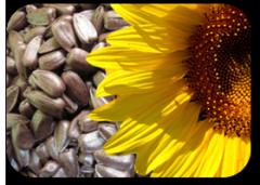Kernel of seeds of sunflower