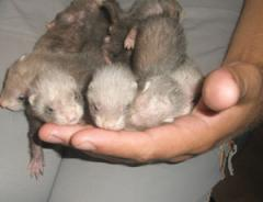 Polecats sable and silver