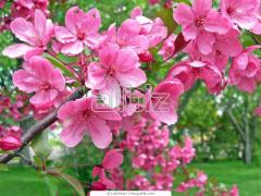 Саджанці декоративних рослин