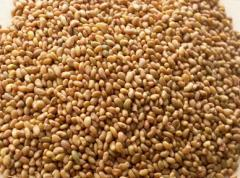 Lucerne seeds (Party from 100 kg)