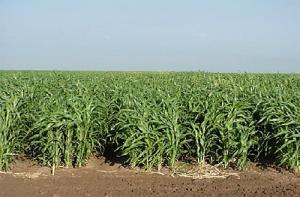 Sudanka. Sudan gräs.