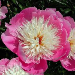 Peony of bowl of beauty, 1 root, florium