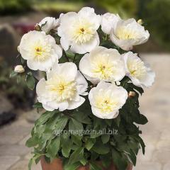 Peony of patio peony madrid, 1 root, florium