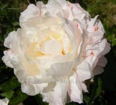 Shirley temple peony, 1 root, florium