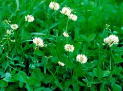 Clover white (decorative) - lawn travosmes, dlf