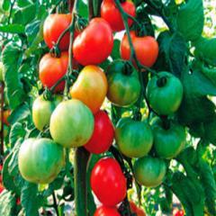 Thoreau f1/toro f1 — a tomato indeterminantny,