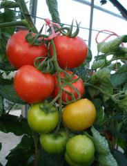 School desk of f1/parto f1 — a tomato