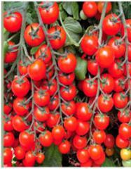 Kochi f1/kotti f1 — a tomato indeterminantny, may