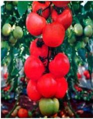 Roksolana f1/roksolana f1 — a tomato