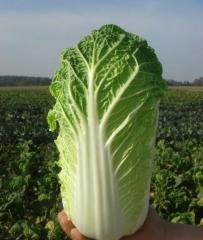 Enduro f1/enduro f1 — cabbage Beijing, takii seeds
