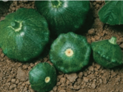 Grindisk f1/greendisc f1 — a bush pumpkin, semo of