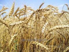 "Winter wheat ""Dryad 1"