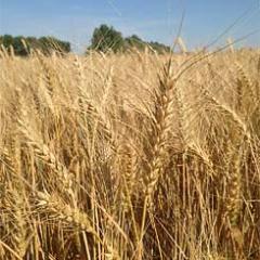 """Winter wheat """"Kokhana"""