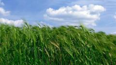 "Winter wheat ""Yaroslavna"
