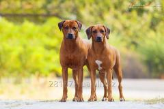 Puppies of the Rhodesian Ridgeback