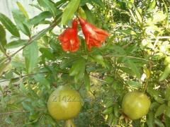 Саджанці екзотичних рослин