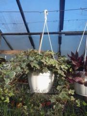 Декоративно-листяні кімнатні рослини