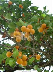 Apricot saplings Possibility of delivery wholesale