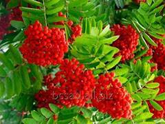 Sorbus aucuparia is not expensive, Kiev region,