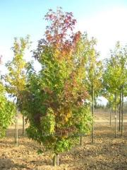 Maple silvery it is not expensive. Saplings in
