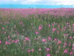 Seeds of sainfoin