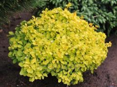 "Barberry of ""Golden Nugget"""