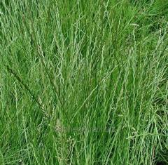 Seeds of forage grasses Perennial ryegrass and