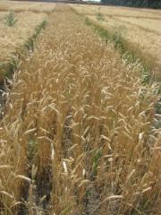 Winter wheat Favourite bezosty