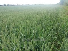 Семена озимой пшеницы Бамберка (Польша)