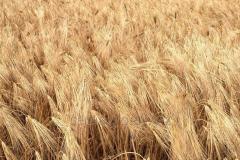 Winter barley