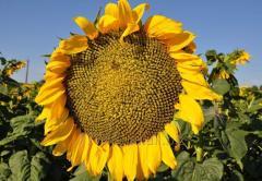 Sunflower seeds, hybrid of sunflower of APAKAP