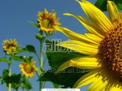 Forage sunflower