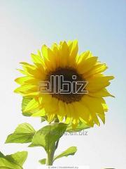 Sunflower seeds Yason, sunflower hybrid Yason