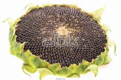 Sunflower seeds Forward, sunflower hybrid Forward
