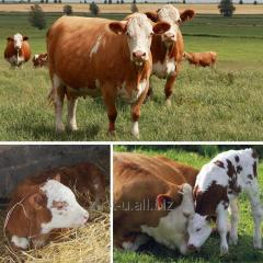 Heifers breeding simentalsky breed