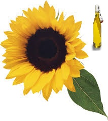 Sunflower oil of the first cold to wring out